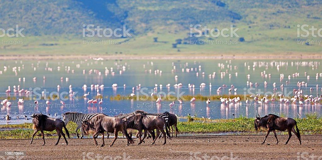 Zebras and wildebeests in the Ngorongoro Crater stock photo