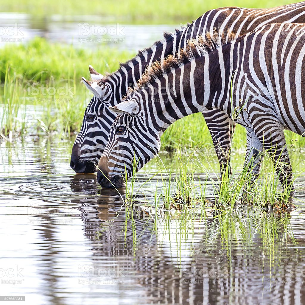 Zebras are drinking water royalty-free stock photo