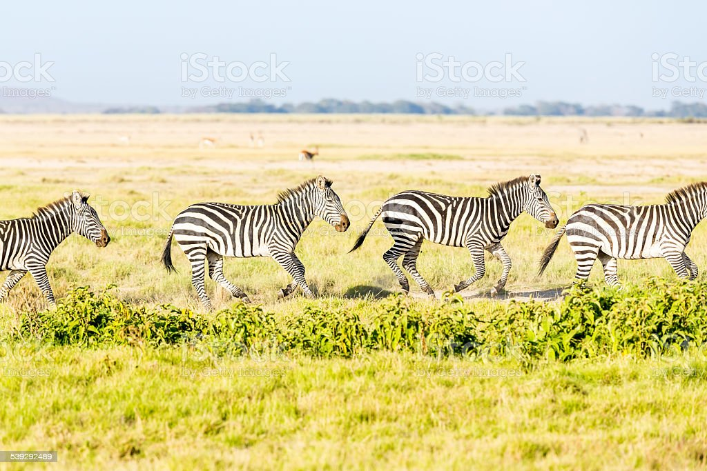 Zebras are running stock photo