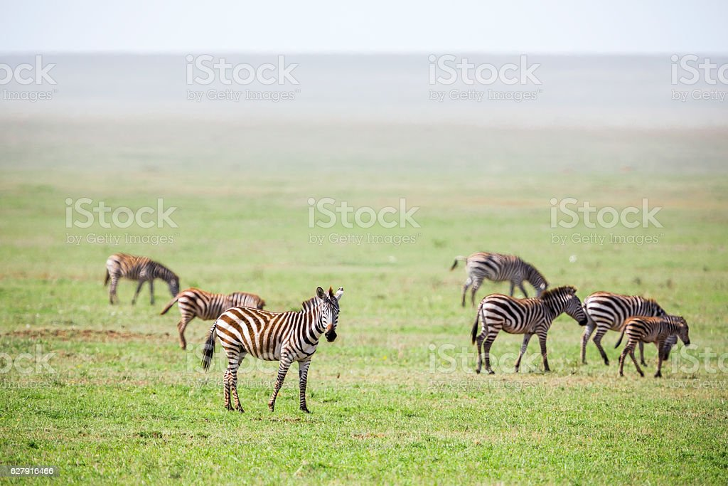 Zebras at Endless Savannah stock photo