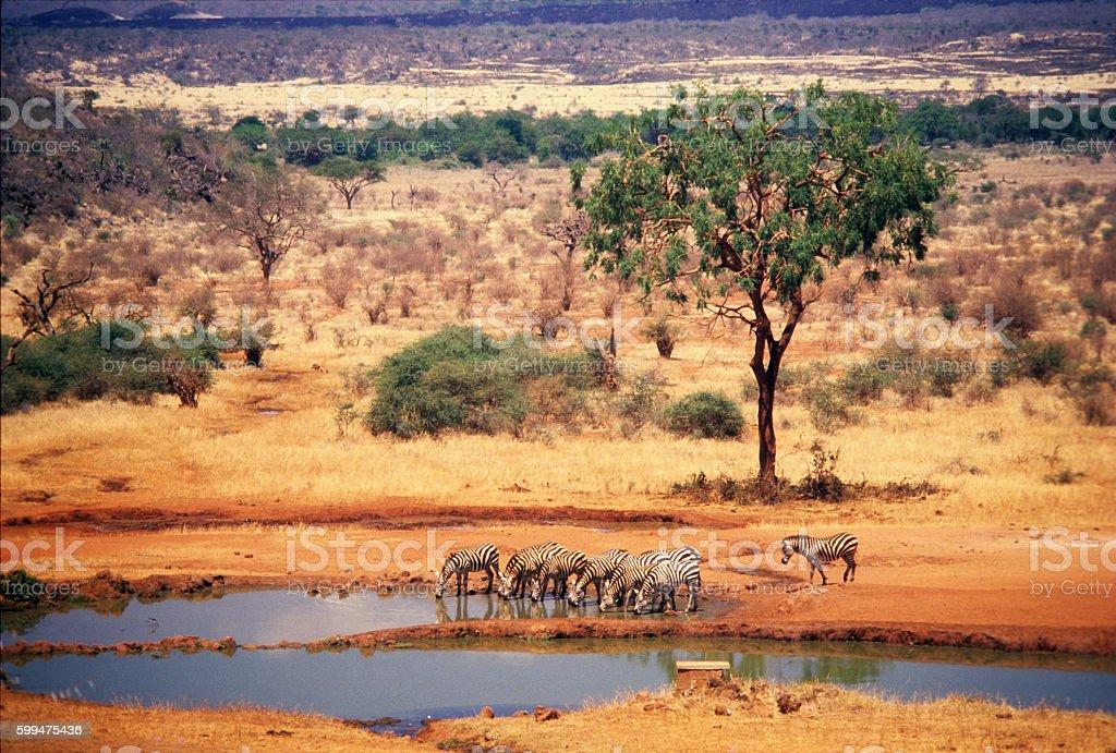 Zebras at Kilaguni waterhole, Tsavo National Park, Kenya stock photo