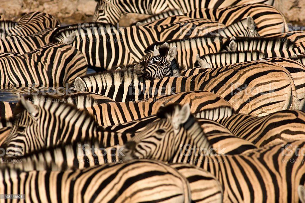 Zebras at Okaukuejo waterhole, Etosha National Park stock photo