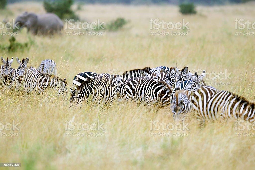 Zebras at Savannah with Elephant stock photo