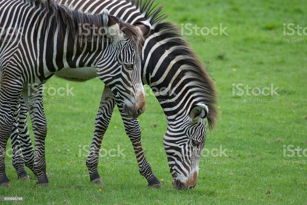 zebras breakfast stock photo