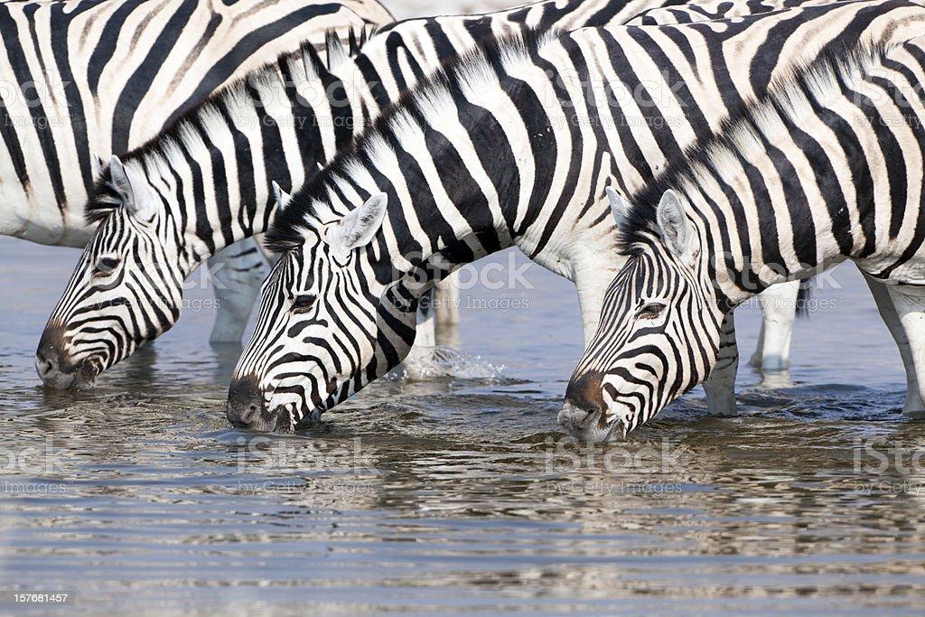 Zebras drinking at a waterhole, Etosha National Park, Namibia royalty-free stock photo