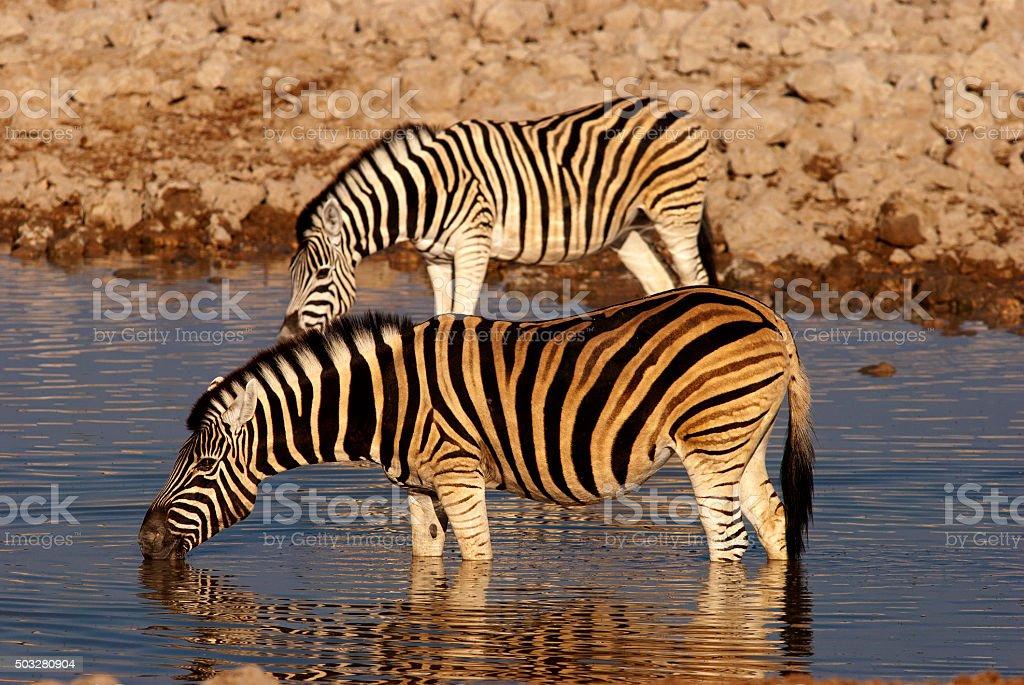 Zebras drinking at Okaukuejo waterhole, Etosha National Park, Namibia stock photo