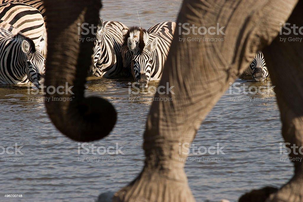 Zebras drinking at Okaukuejo waterhole, Etosha Park, Namibia stock photo