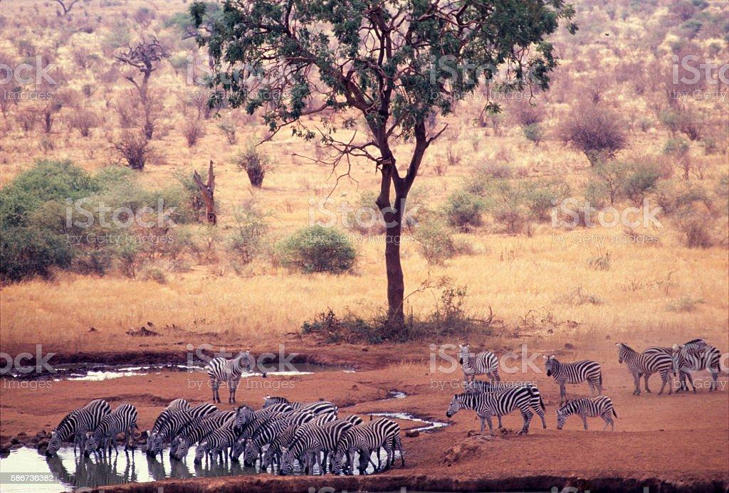 Zebras drinking at the Kilaguni Lodge waterhole, Tsavo National stock photo