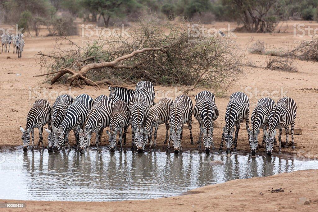 Zebras drinking by water hole, Amboseli, Kenya. stock photo
