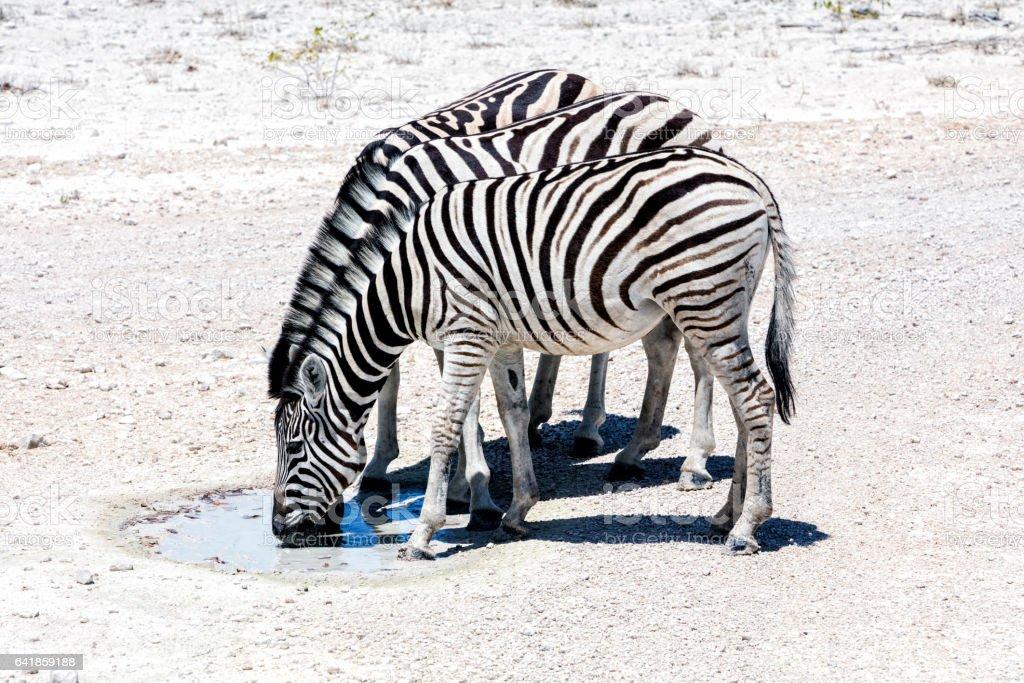 Zebras drinking from a puddle, Etosha, Namibia stock photo