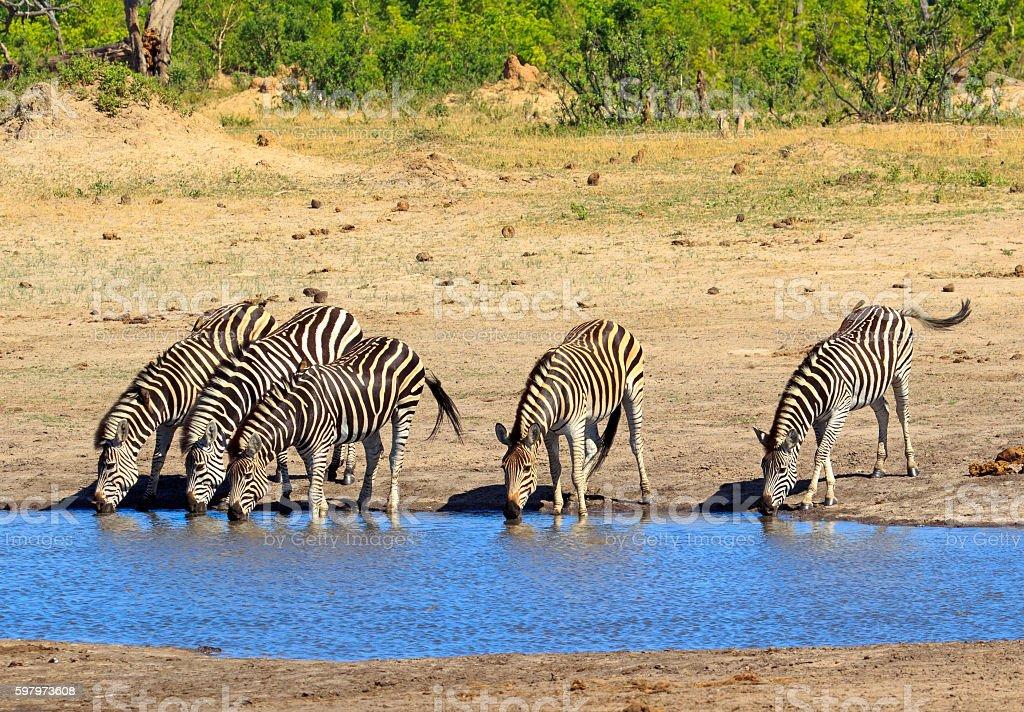 Zebras drinking from a waterhole in Hwange National Park stock photo