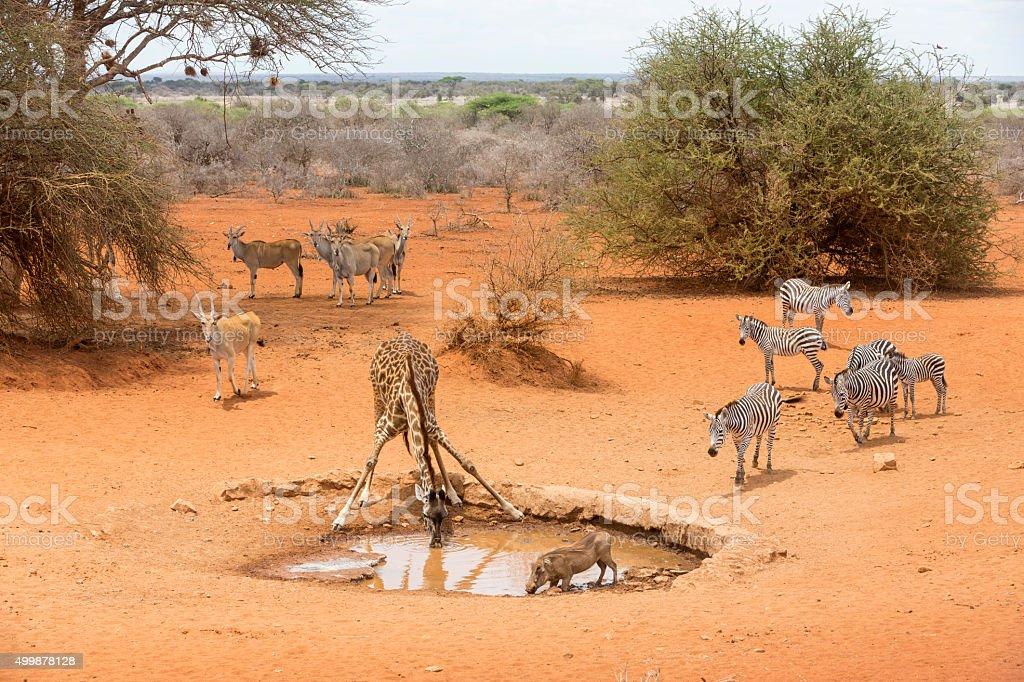 Zebras, drinking giraffe, warthogs and Eland antelopes  by the waterhole. stock photo