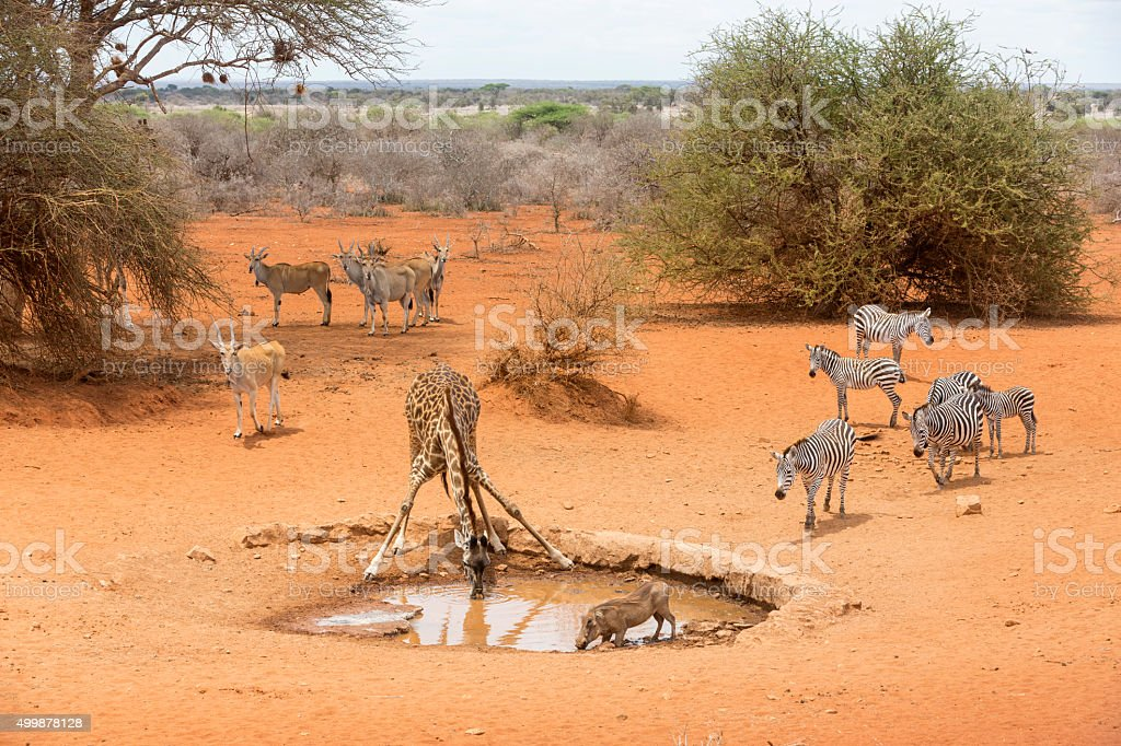 Zebras, drinking giraffe, warthogs and Eland antelopes  by the waterhole. stock photo