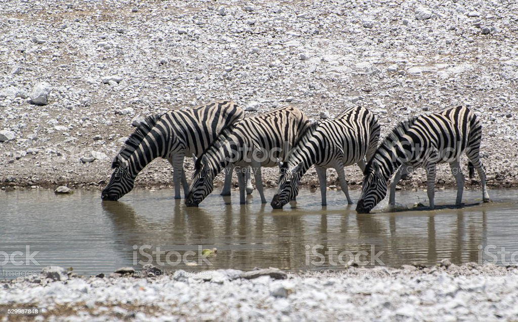 zebra's drinking in a pool in Etosha, Namibia stock photo