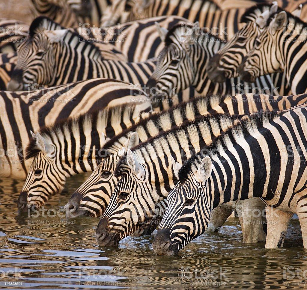 Zebras drinking royalty-free stock photo
