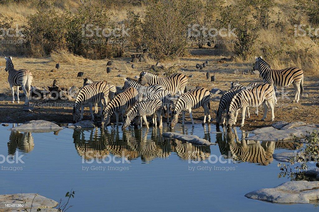 Zebras drinking water royalty-free stock photo