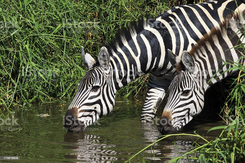 Zebras drinkung royalty-free stock photo