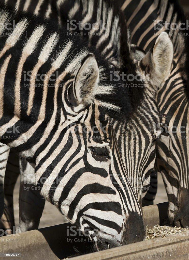 Zebras eating royalty-free stock photo
