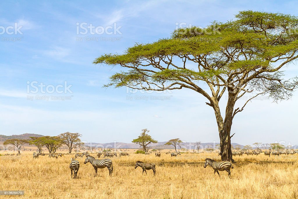 Zebras eats grass at the savannah in Africa stock photo