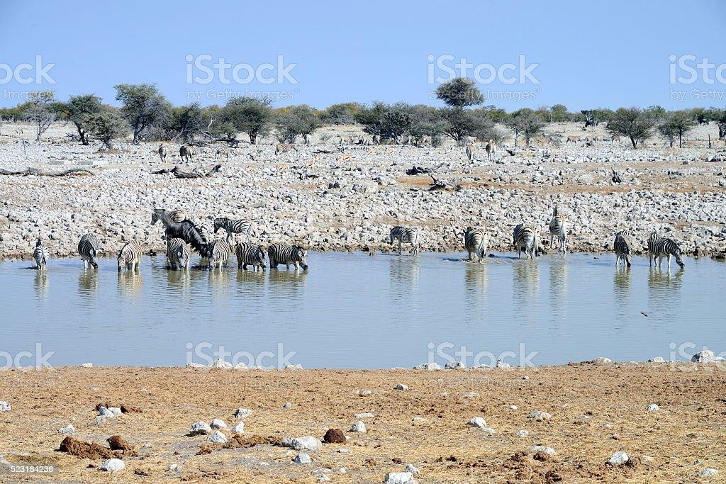 Zebras, Etosha National Park, Namibia stock photo