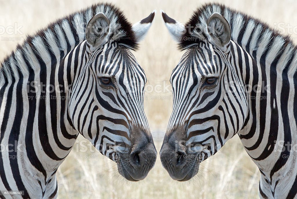 zebras face to face stock photo