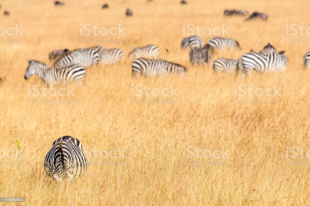 Zebras feeding stock photo