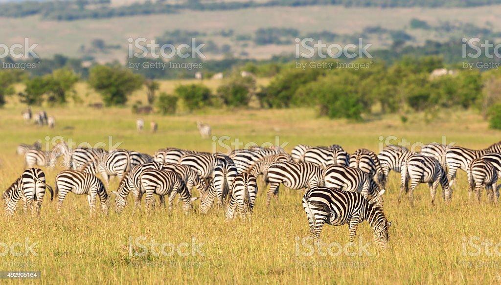 Zebras grazing on the savannah stock photo