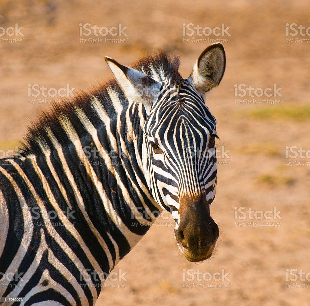 zebra's head, amboseli national park, kenya stock photo