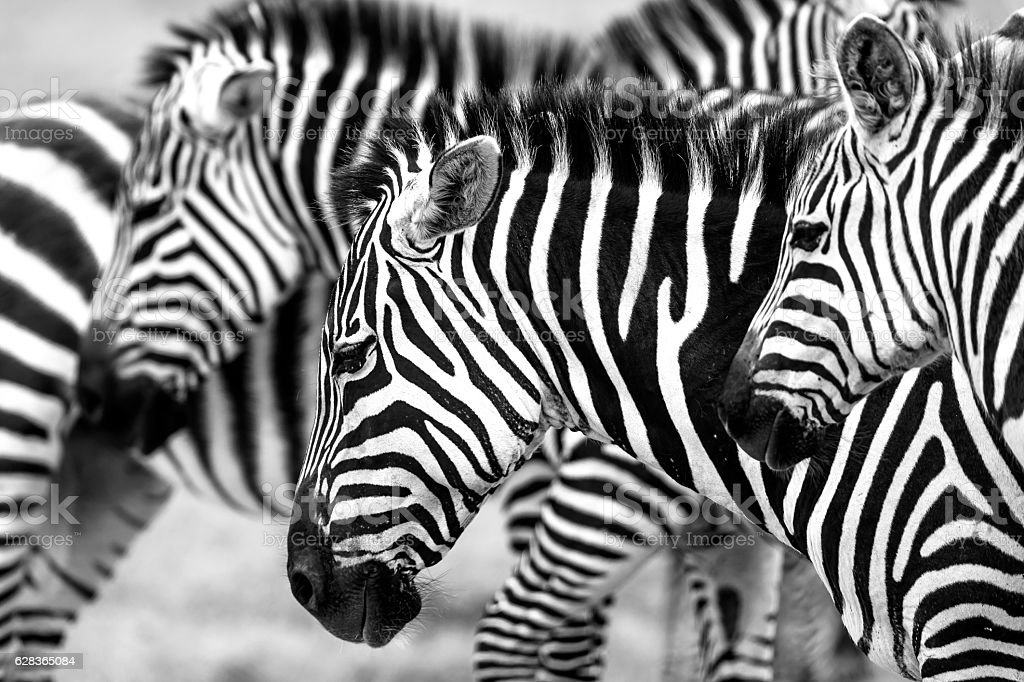 Zebras heads stock photo