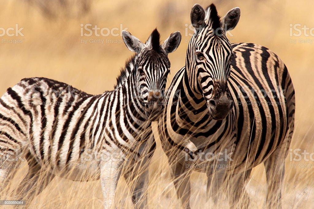 Zebras herd, Etosha National Park, Namibia stock photo