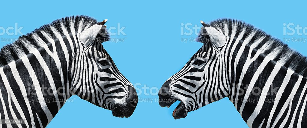 Zebras in conversation stock photo