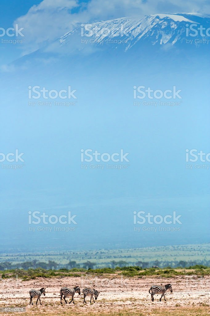 Zebras in front of Mount Kilimanjaro stock photo