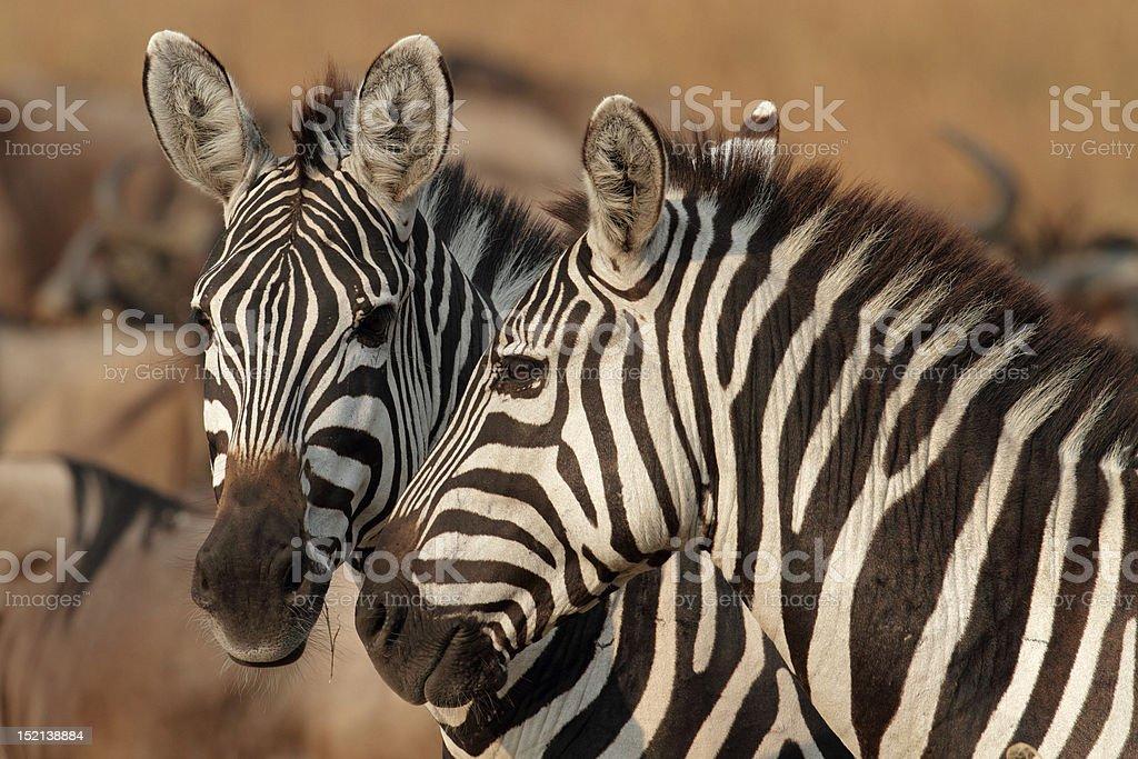 Zebras in golden afternoon light, Serengeti, Tanzania stock photo