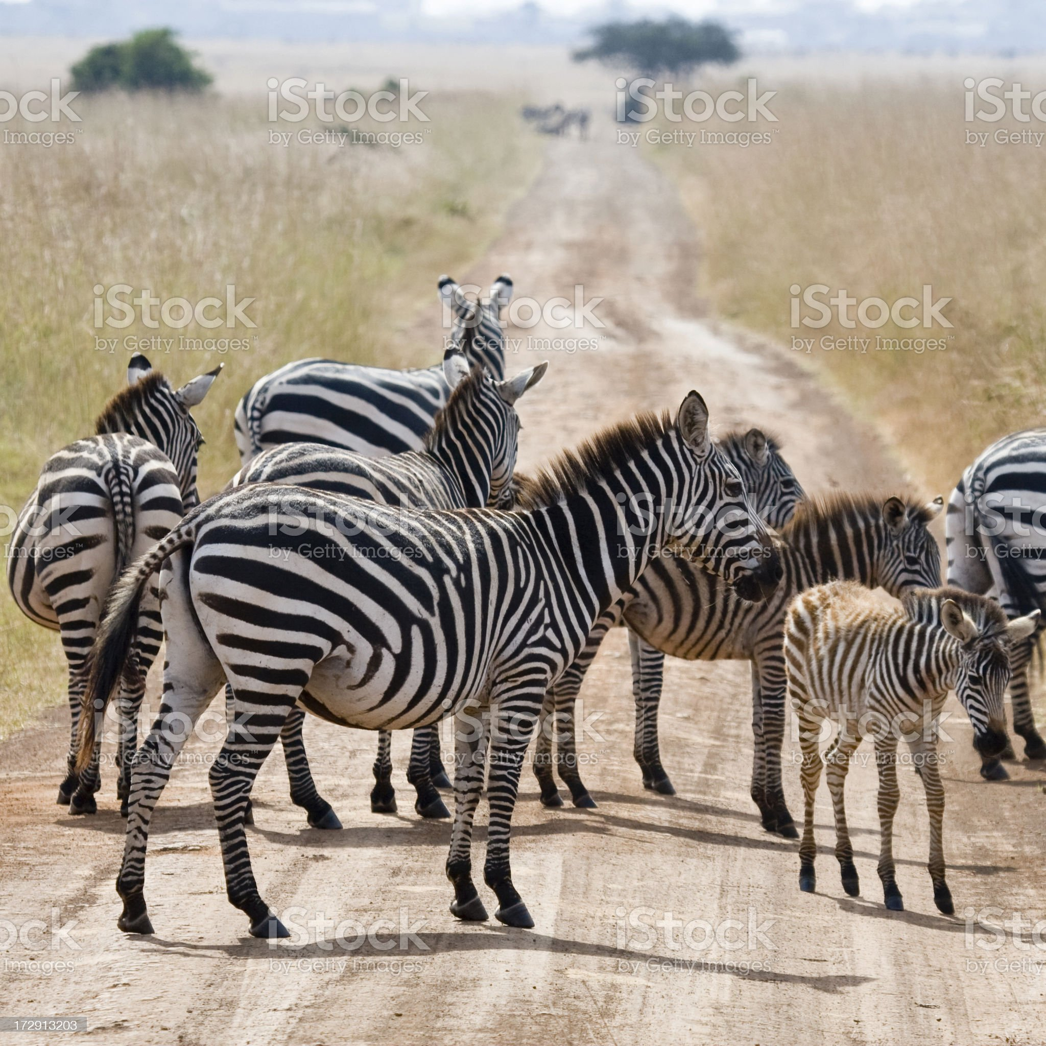 Zebras in Kenya royalty-free stock photo