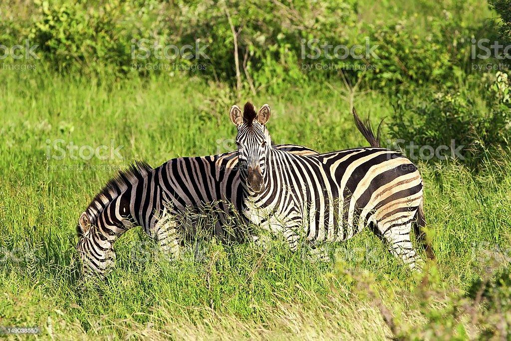 Zebras in Kruger National Park royalty-free stock photo