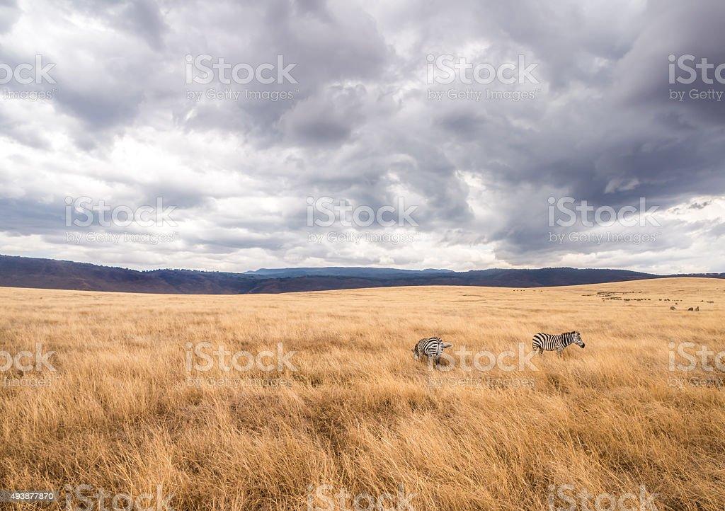 Zebras in Ngorongoro Crater in Africa stock photo