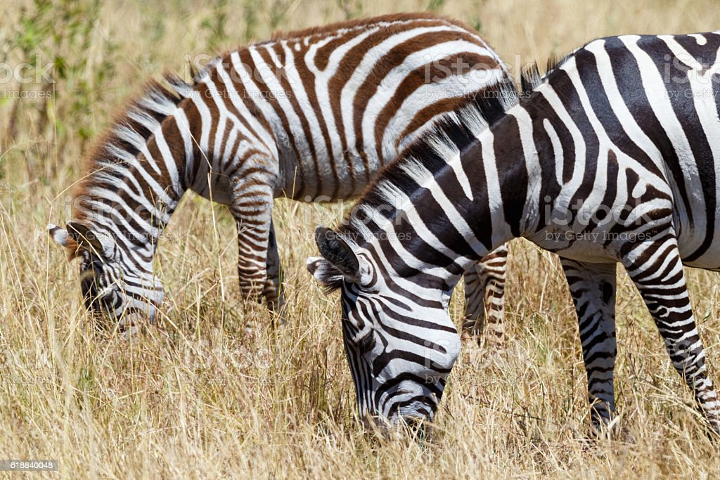 Zebras in Serengeti National Park, Tanzania Africa stock photo
