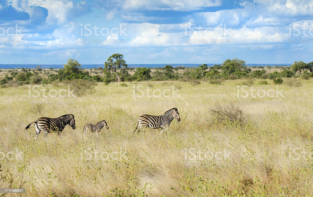 Zebras in South Africa Savannah royalty-free stock photo