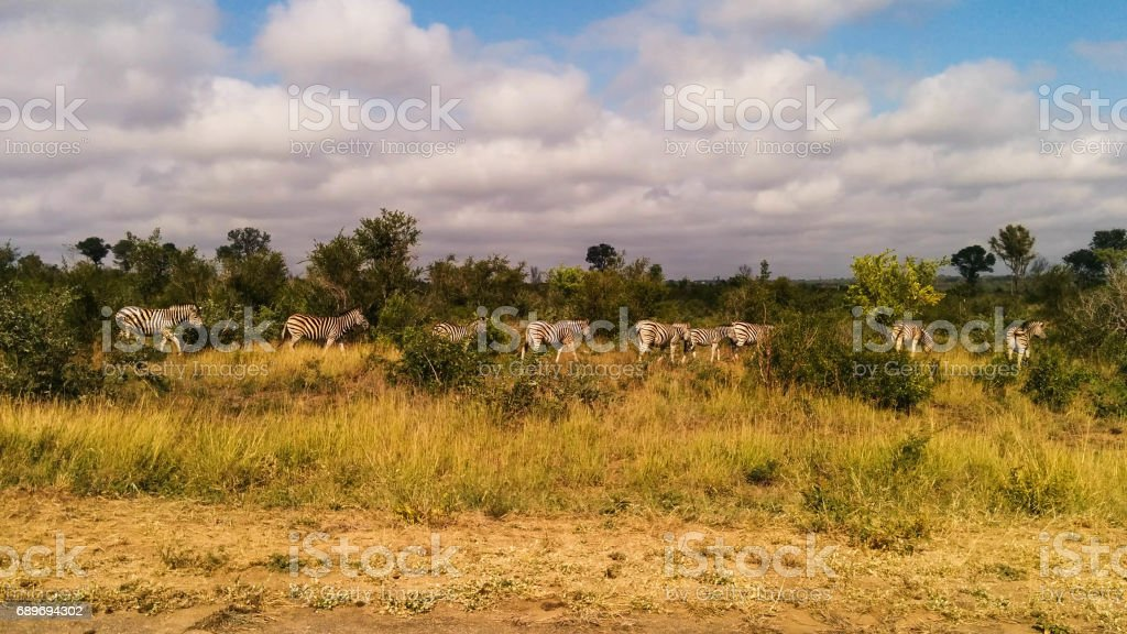 Zebras in South Africa Savannah stock photo