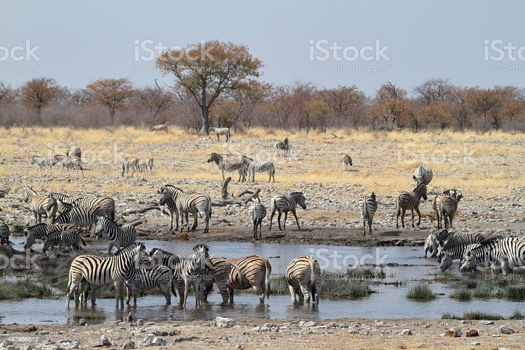 Zebras in the Etosha National Park in Namibia stock photo