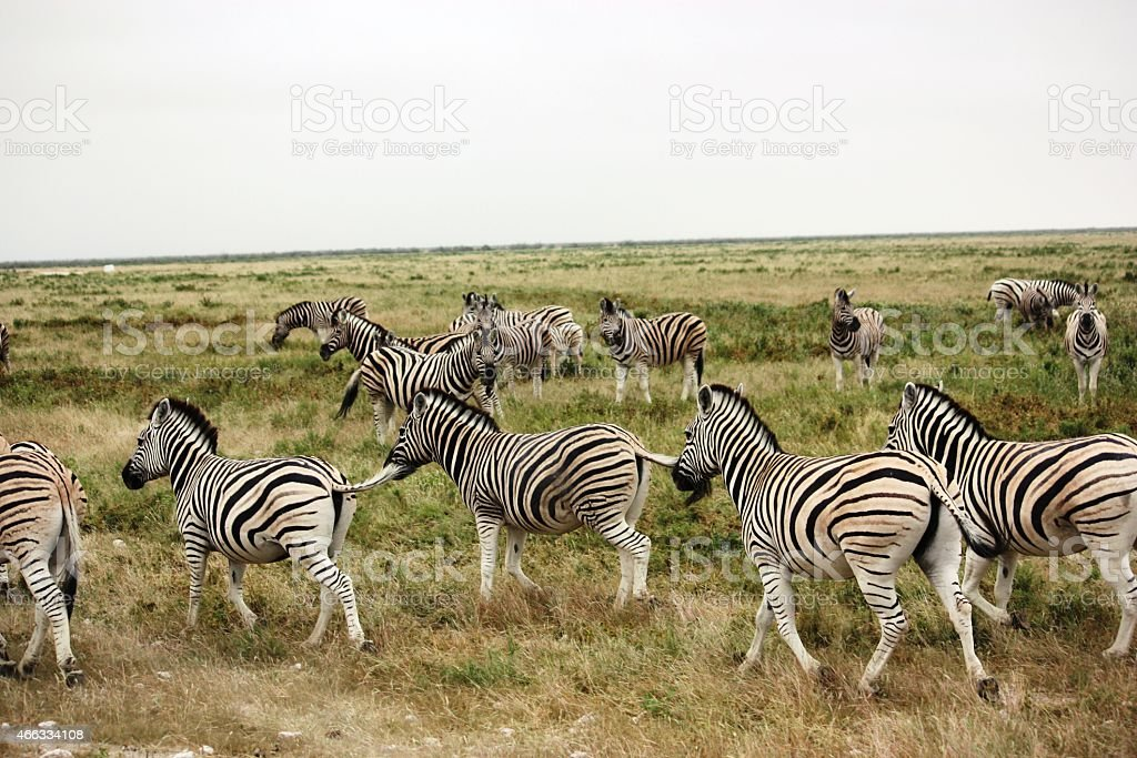 Zebras in the Etosha National Park Namibia stock photo