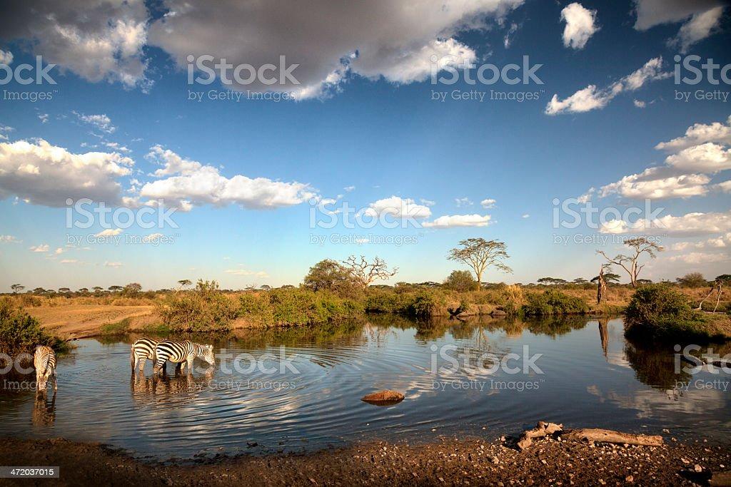 Zebras in the evening light: Serengeti, Tanzania stock photo