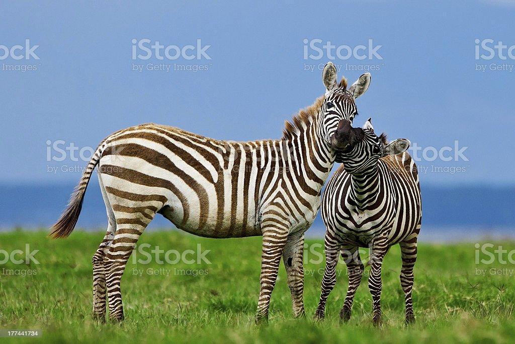 Zebras in the Lake Nakuru National Park royalty-free stock photo