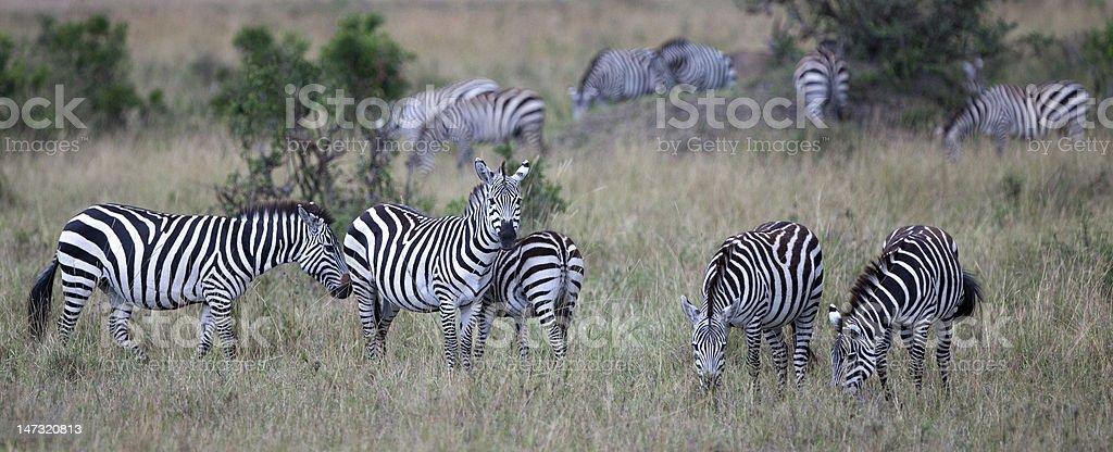 Zebras in the Maasai Mara, Kenya royalty-free stock photo