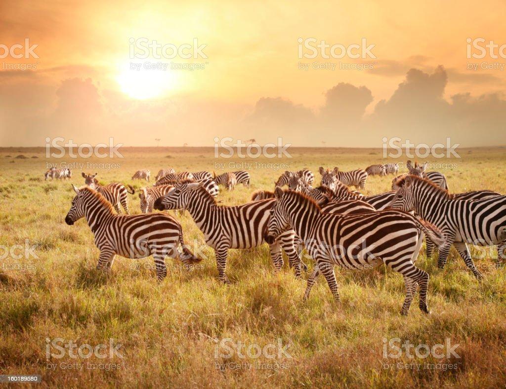 Zebras at Maasai Mara parkland located on the border of Kenya, Uganda...