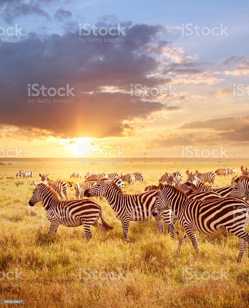 Zebras in the morning stock photo