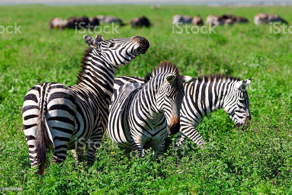 Zebras in the Ngorongoro Crater stock photo