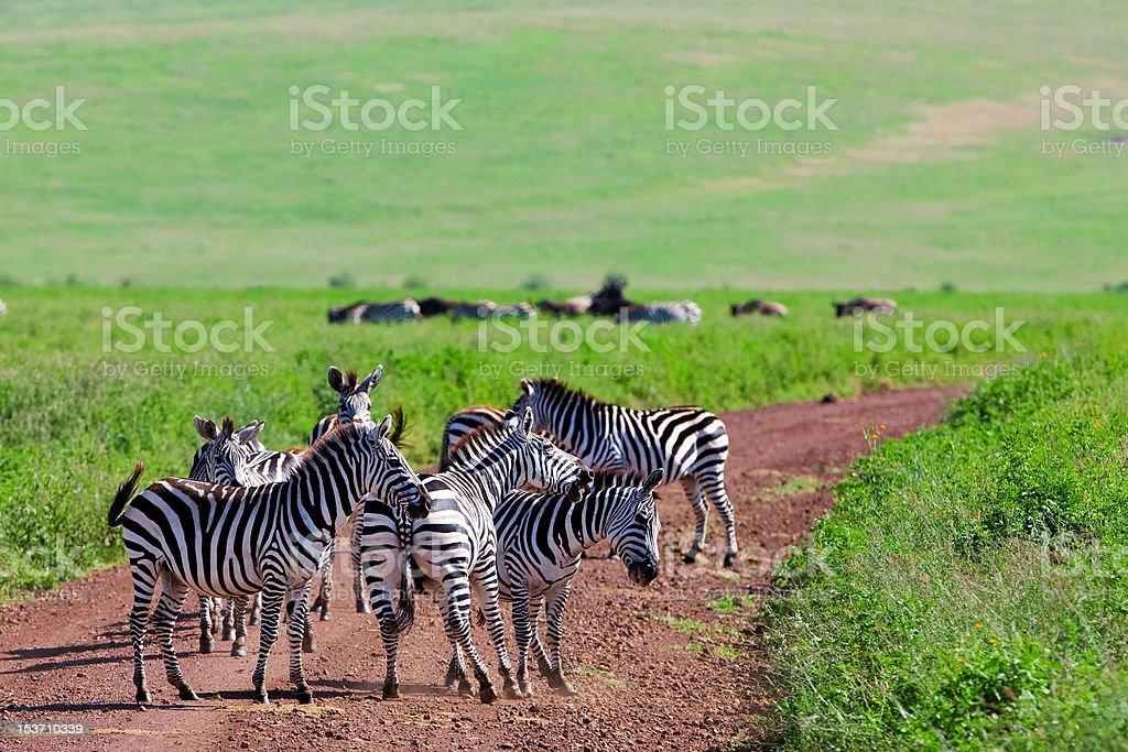 Zebras in the Ngorongoro Crater royalty-free stock photo