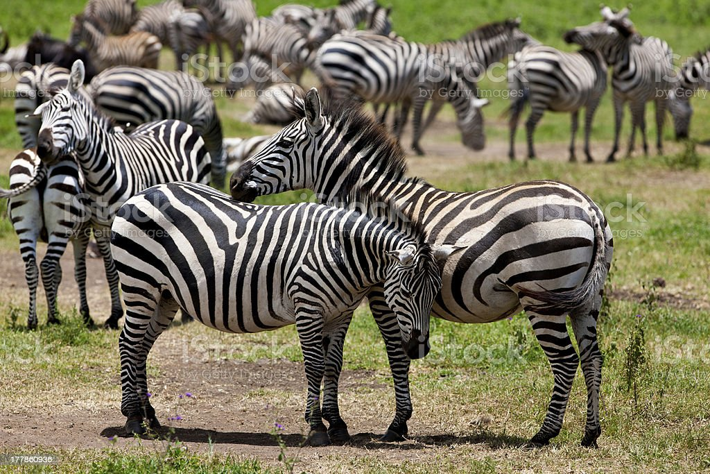 Zebras in the Ngorongoro Crater royalty-free stock photo