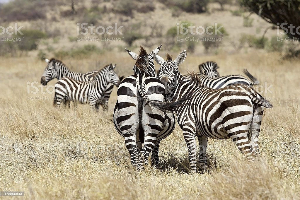 Zebras (Equus burchellii) in the savanna royalty-free stock photo